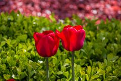 Red color tulip flowers in the garden. Red color tulip flowers bloom in the garden stock photos