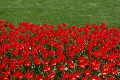 Red color tulip flowers in the garden. Red color tulip flowers bloom in the garden royalty free stock photo