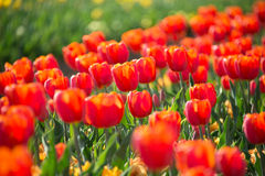 Red Color Tulips Royalty Free Stock Image