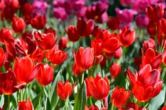 Red color tulips. Royalty Free Stock Image