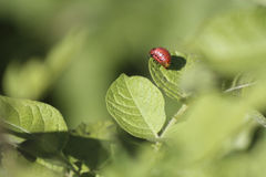 The red colorado beetle`s larva on leaf of green plant royalty free stock photos