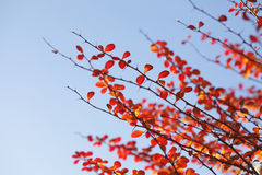 Red colored autumn-leaves. On a branch stock photos