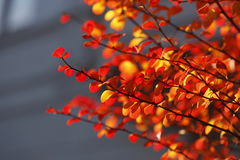 Red colored autumn-leaves. On a branch stock image