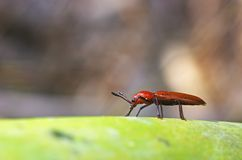 Red colored beetle in tropical forest Stock Image