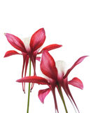 Red Colored Columbine Flowers Isolated on White Background. Stock Image