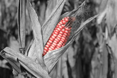 Red colored corncob on field Stock Image
