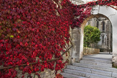 Red colored ivy in autumn Stock Photos