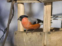 Red-colored Male of Eurasian Bullfinch Pyrrhula pyrrhula, close-up portrait at bird feeder, selective focus, shallow DOF Royalty Free Stock Images