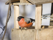 Red-colored Male of Eurasian Bullfinch Pyrrhula pyrrhula, close-up portrait at bird feeder, selective focus, shallow DOF Stock Photos