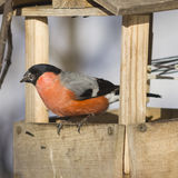 Red-colored Male of Eurasian Bullfinch Pyrrhula pyrrhula, close-up portrait at bird feeder, selective focus, shallow DOF Stock Image