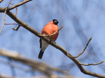 Red-colored Male of Eurasian Bullfinch, Pyrrhula pyrrhula, close-up portrait on branch with bokeh background Royalty Free Stock Image