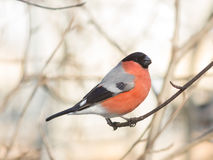 Red-colored Male of Eurasian Bullfinch, Pyrrhula pyrrhula, close-up portrait on branch with bokeh background Stock Photo