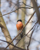 Red-colored Male of Eurasian Bullfinch, Pyrrhula pyrrhula, close-up portrait on branch with bokeh background Stock Photography