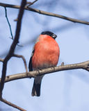 Red-colored Male of Eurasian Bullfinch, Pyrrhula pyrrhula, close-up portrait on branch with bokeh background Royalty Free Stock Photography