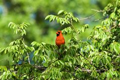 Red Colored Male Northern Cardinal Perched in a Tree Top. One red colored male Northern Cardinal bird perched in the top of a green tree. Selective focus on bird royalty free stock photo