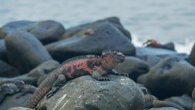 Red colored marine iguana at isla espanola in the galapagos. Red colored marine iguana with waves in the background at isla espanola in the galapagos islands stock images