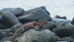 Red colored marine iguana at isla espanola in the galapagos. Red colored marine iguana with waves in the background at isla espanola in the galapagos islands stock video