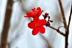 Red colored, Ornamental crabapple Plant one of these for a lavish pop of white, pink, or red flowers each spring. Ornamental crab apple  in color Red, The Stock Image