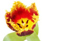 Red colored parrot tulip Royalty Free Stock Photography