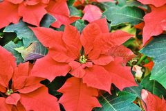 Red colored poinsettia leaves Stock Photography