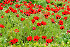 Red Colored Poppy Field Royalty Free Stock Photo