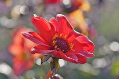 Red colored Single Dahlia flower with water drops on petals and spider silk thread stock photo