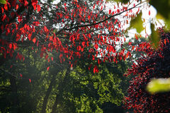 Red colored tree in the fall Royalty Free Stock Image