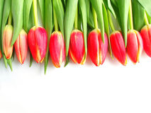 Red colored tulips royalty free stock photography