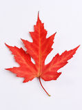 Red colorful autumn maple leaf Stock Images
