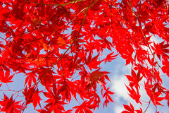 Red colorful autumnal maple leaves, blue sky background Royalty Free Stock Photo