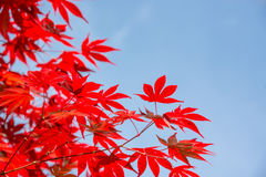Red colorful autumnal maple leaves, blue sky background with copy space, Autumn concept Royalty Free Stock Image