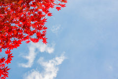 Red colorful autumnal maple leaves, blue sky background with copy space stock image
