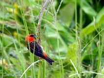 Red colorful cardinal in Mauritius Stock Image