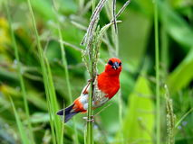 Red colorful cardinal in Mauritius Stock Images