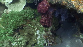 Red and colorful corals underwater in ocean of wildlife Philippines. Travel in world of unique colorful beautiful ecosystem nature coral, algae, fish stock video footage