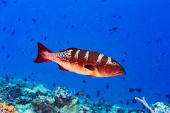 Red colorful grouper isolated on ocean Royalty Free Stock Images
