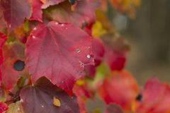 Red and colorful leaves in fall on a branch Royalty Free Stock Images