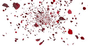 Red colorful petals rose flying animation on white background, love and valentine day. Concept vector illustration