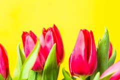 Red colorful tulips flowers in a row on yellow background with free space. Mothersday or spring concept. Red colorful tulips flowers in a row on yellow Stock Images