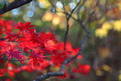 Scarlet colors fall foliage blur Stock Photo