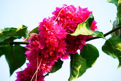 Red colour of Bougainvillea. Bouquet, branch and leave Royalty Free Stock Photos