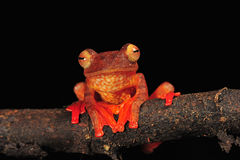 Aisa tree frog. Red colour tree frog stay on branch stock images