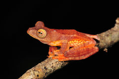 Tree frog. Red colour tree frog stay on branch stock photo