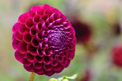Red coloured dahlia. Close up of a red coloured dahlia in bloom royalty free stock photography