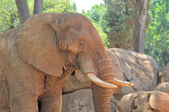Red coloured Elephant Royalty Free Stock Image