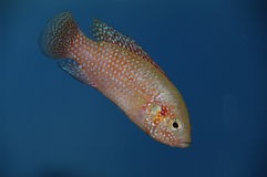 Red coloured female Cichlid Royalty Free Stock Photos