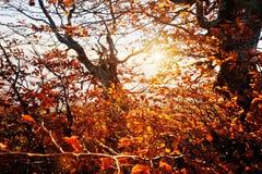Red colourful autumn trees on sun shine light on morning of amaz Royalty Free Stock Photos
