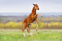 Red colt fun Stock Photography