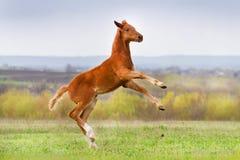Red colt fun Stock Photo