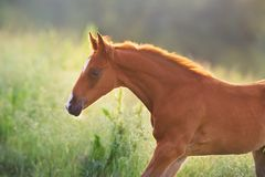 Free Red Colt Portrait Royalty Free Stock Image - 157494836